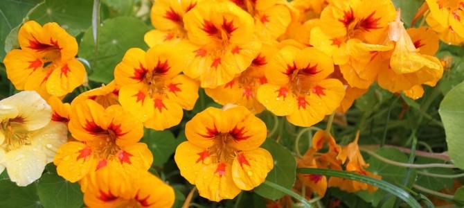 Viskas ką reikia žinoti apie valgomas gėles astras