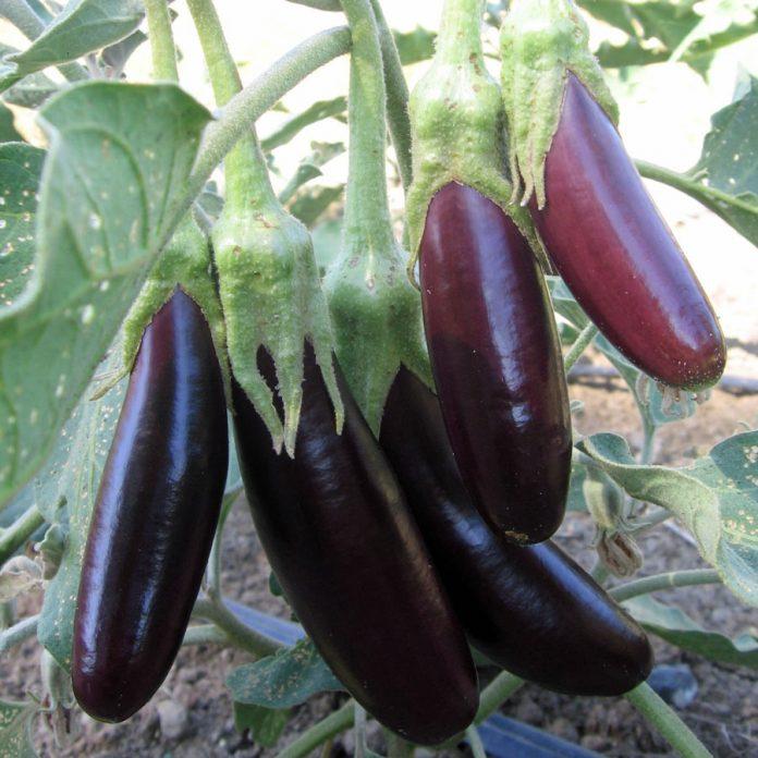 Baklažanai ir jų auginimas