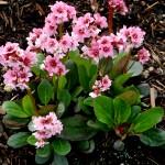 Gėlės bergenijos ir jų auginimas