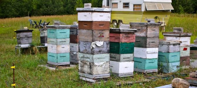 Bičių auginimo gidas naujokams: kaip prižiūrėti ir auginti bites, kad gautume skanaus medaus