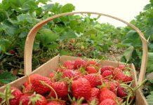 Aktinidijos – kas tai, jų veislės, sodinimas, auginimas, vaisiai, dauginimas ir priežiūra