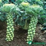 Briuselio kopūstų auginimas Lietuvos sąlygomis