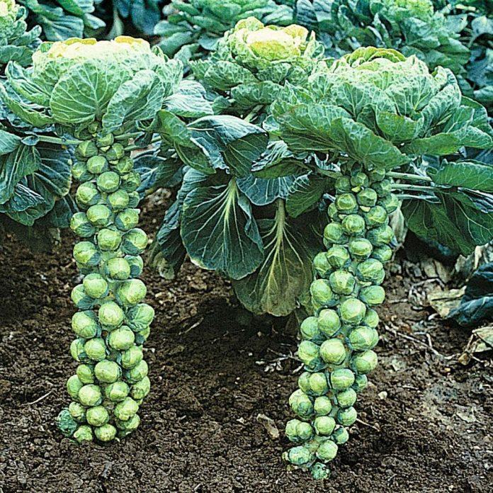briuselio kopūstų sėklos
