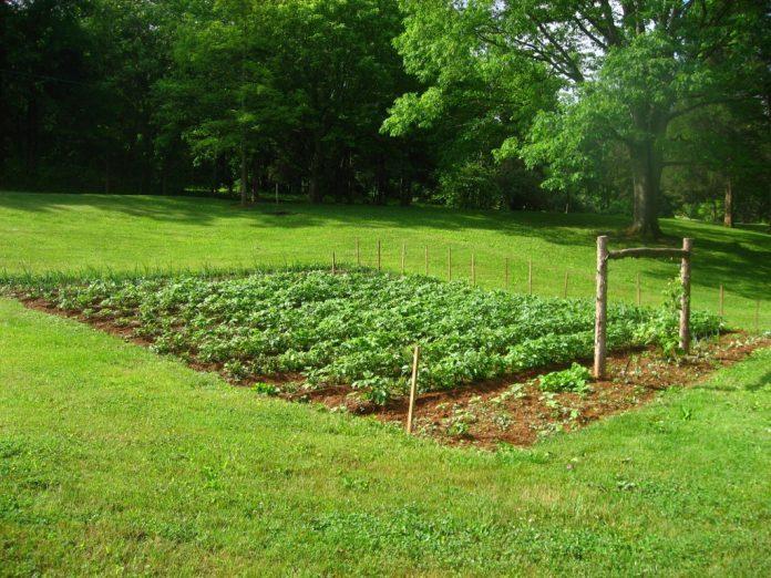 Bulvės – sodinimas, priežiūra, tręšimas, kasimas ir visa kita