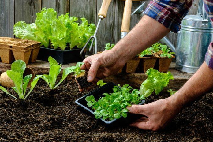 daržo priežiūra
