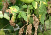 daržovių ligos