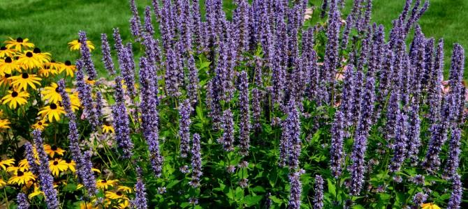 Juozažolės – jų auginimas, ypatumai ir priežiūra