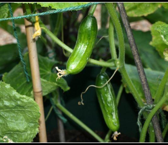 Agurkai - sodinimas, auginimas ir priežiūra