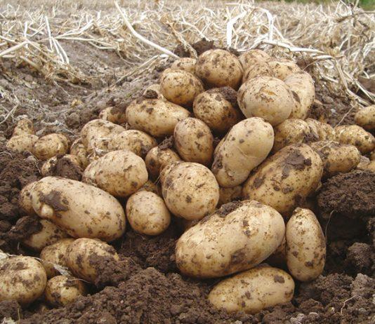 Ankstyvosios bulvės