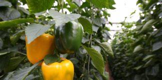 Paprikos (ankštpipiriai) - sodinimas, auginimas ir priežiūra