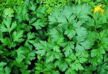 Petražolės - sodinimas, auginimas ir priežiūra