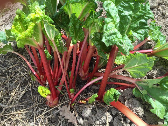 Rabarbarai - sodinimas, auginimas ir priežiūra