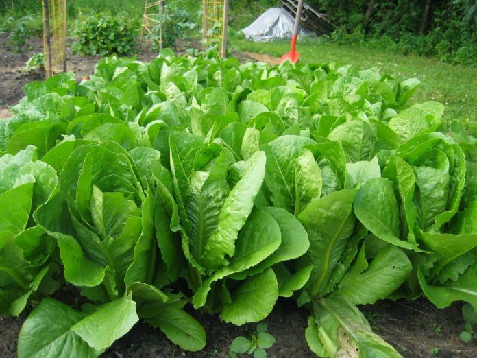 Salotos - sodinimas, auginimas ir priežiūra