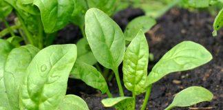 Špinatų auginimas