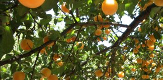 Abrikosų sodinimas, auginimas ir priežiūra