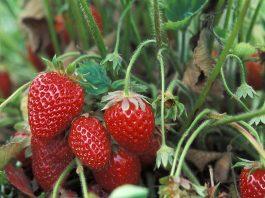 Braškės - sodinimas, auginimas ir priežiūra