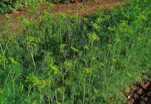 Krapų auginimas sode