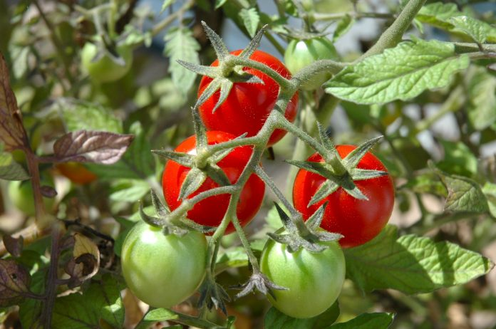 Pomidorų sodinimas, auginimas ir priežiūra
