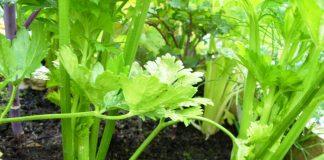 Salierų sodinimas ir auginimas
