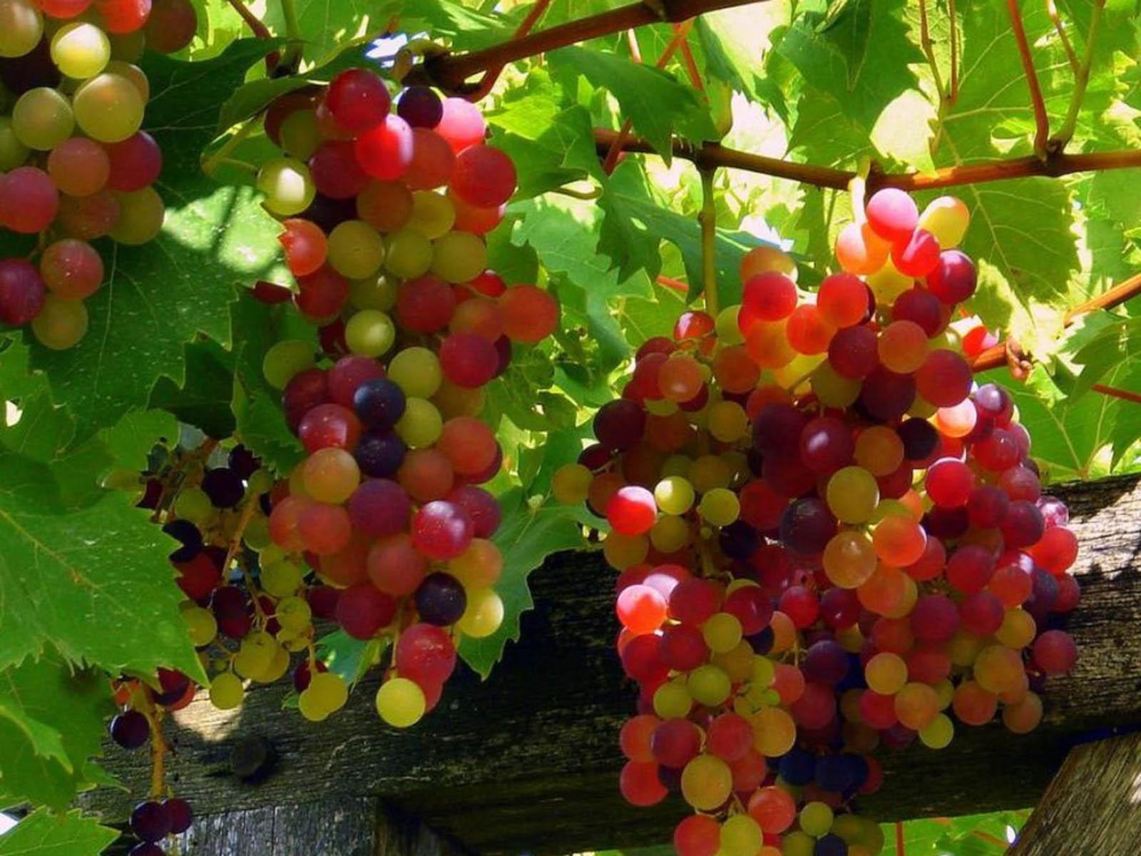 Vynuogių sodinimas, auginimas, dauginimas ir genėjimas