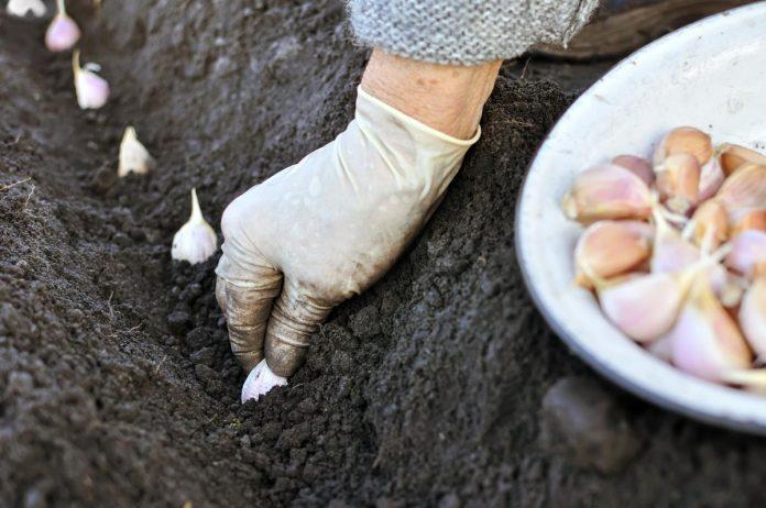 Česnakai: nuo sodinimo iki auginimo