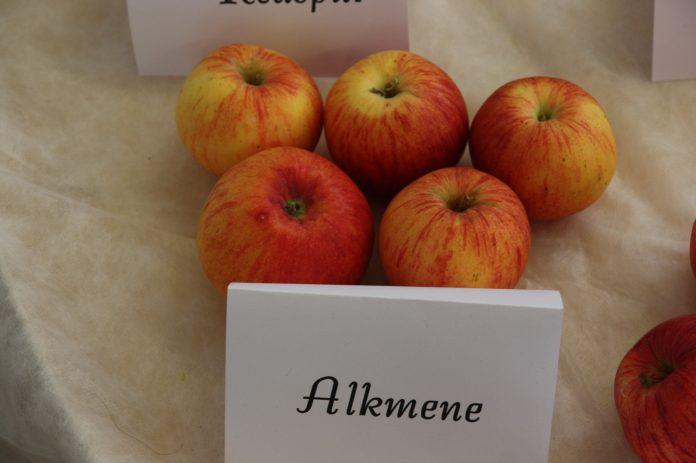 Alkmenė (Alkmene) veislės obuoliai