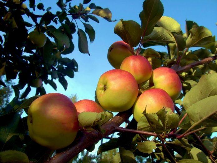 Auksis veislės obuoliai