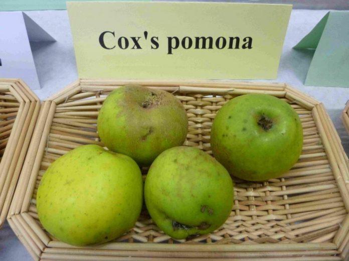 Kokso Pomona (Coxi Pomona) veislės obuoliai