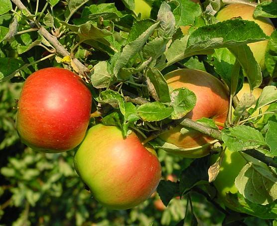 Rudeninių dryžuotųjų veislės obuoliai