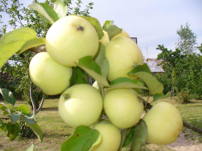 Paprastųjų antanininių veislės obuoliai