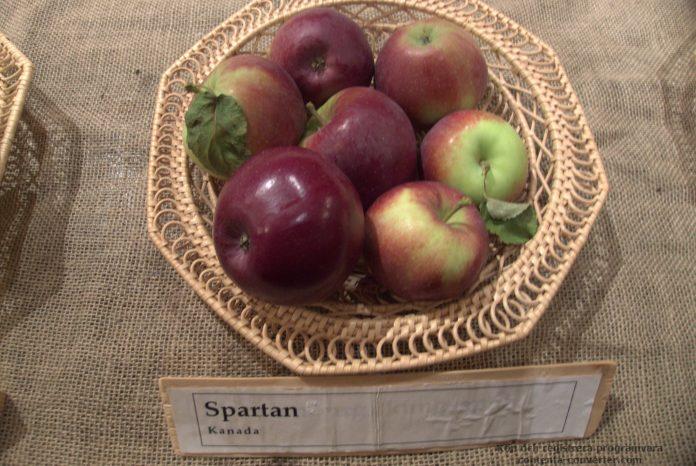 Spartan veislės obuoliai