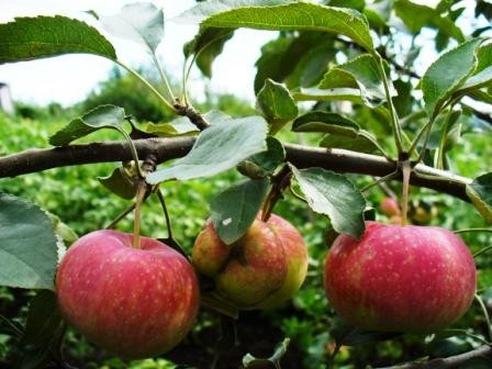 Uelsi (wealthy, dorpato rožinis) veislės obuoliai